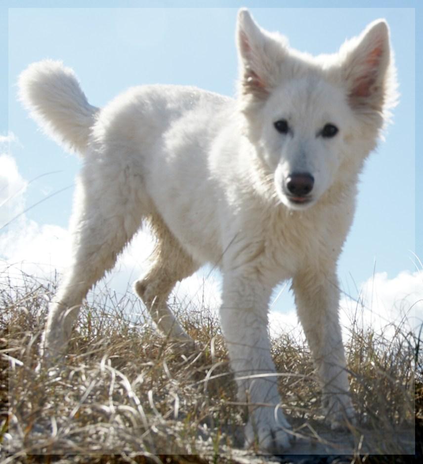 Junghund Alba